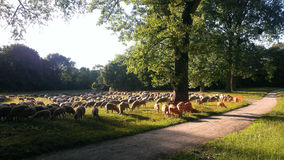 Sheeps. Photo of some sheeps in munic stock image