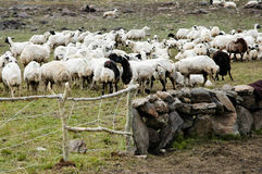 Sheeps on plain Stock Image
