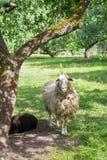 Sheeps pod drzewem chującym od gorącego słońca Obrazy Royalty Free