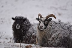 Sheeps in the snow, Kolmarden, Ostergotland, Sweden. Sheeps portrait during a snowing winter day in Kolmarden, Ostergotland region, Sweden Royalty Free Stock Image