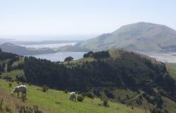 Sheeps posing in the foreground in Otago Peninsula near Dunedin in New Zealand royalty free stock photo