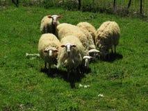 Sheeps przy zielenieją pole Zdjęcie Stock