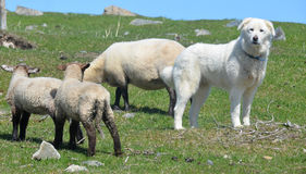 Sheeps and Pyrenean Mountain Dog. Known as the Great Pyrenees in North America, is a large breed of dog used as a livestock guardian dog Royalty Free Stock Image