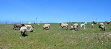 Sheeps and Pyrenean Mountain Dog Stock Photo