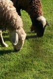 Sheeps que come a grama fotografia de stock