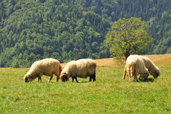 Sheeps que pasta Foto de archivo libre de regalías