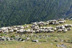 Sheeps que pasta Imagem de Stock Royalty Free