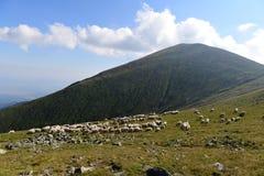 Sheeps que pasta Imagens de Stock