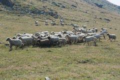 Sheeps que pasta Imagens de Stock Royalty Free