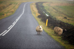 Sheeps. In rainy day on the road in Iceland Royalty Free Stock Photography