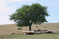 Sheeps Rest Royalty Free Stock Photo