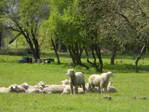 Sheeps resting on the green field.Farm in Poland. Sheeps resting on the green field. Spring tender green grass and leaves on trees. Farm in Poland Stock Photography