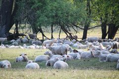 Sheeps and hundred years old oak trees royalty free stock photography