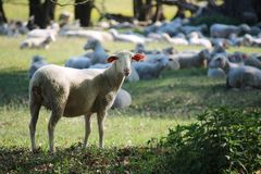 Sheeps and hundred years old oak trees stock photos