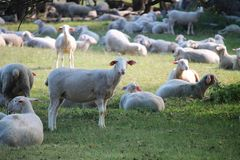 Sheeps resting on a meadow stock photo