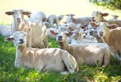 Sheeps rests on the shadow field Royalty Free Stock Photography