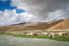 Sheeps by the river. Sheeps and goats grazing on the mountain pasture on the riverbank in the tibetan part of Himalaya mountains Royalty Free Stock Images