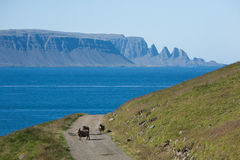 Sheeps on a road. Sheeps on a gravelroad in Iceland with peaks in backround Stock Image