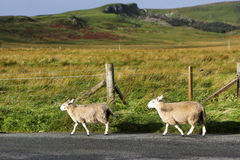 Sheeps on the road, Isle of Skye, Scotland. Isle of Skye is the largest and most northerly major island in the Inner Hebrides of Scotland. The main industries Royalty Free Stock Photos