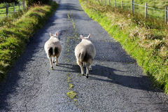 Sheeps on the road, Isle of Skye, Scotland. Isle of Skye is the largest and most northerly major island in the Inner Hebrides of Scotland. The main industries Stock Image
