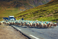 Sheeps on road Stock Images