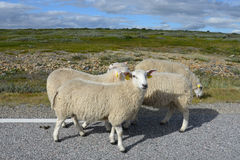 Sheeps on the road Royalty Free Stock Photography
