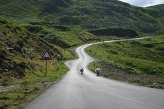 Sheeps on the road in Scotland Royalty Free Stock Photo