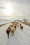 Sheeps on the road Stock Images