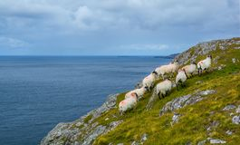 Sheeps roaming near the Slieve League, County Donegal, Ireland royalty free stock image