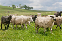 Sheeps running on pasture of hilly range near a village farm. Royalty Free Stock Images