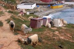 Sheeps runt om Yarchenen Gar Yaqen Orgyan Temple i Amdo Tibe Arkivfoton