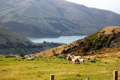 Sheeps at rural area Stock Images