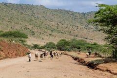 Sheeps samlas att passera byvägen Fotografering för Bildbyråer