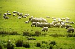 Sheeps samlas på det gröna fältet Arkivbild