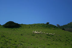 Sheeps in Sardinia. Flock of sheep on a farm in Sardinia Royalty Free Stock Photo