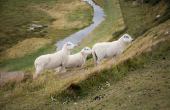 Sheeps in Seven Sisters country park Royalty Free Stock Images