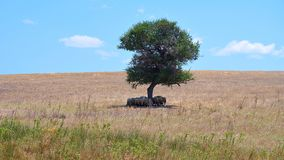 One shade to fit them all. Sheeps in a shade of a tree on Island Drenia, Ammouliani Greece stock image