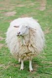 Sheeps in sheep farm Royalty Free Stock Photos