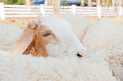 Sheeps Stock Photography