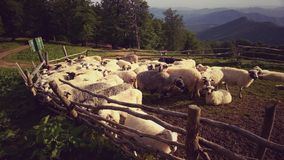 Sheeps in sheepfold Stock Foto's