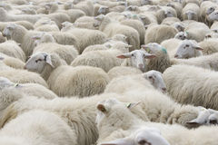 Sheeps in sheepfold Royalty Free Stock Image