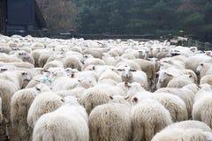 Sheeps in sheepfold Stock Image