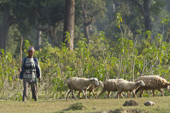 Sheeps and shepherd holding a stick in a field, Bardia, Nepal Stock Photography