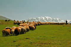 Sheeps, shepherd. Picture of a shepherd with his sheeps in the clean nature Royalty Free Stock Images