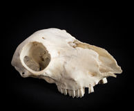 Sheeps skull Royalty Free Stock Image
