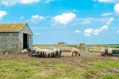 Sheeps and sky. Bly sky and sheeps with grass Royalty Free Stock Photos