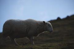 Sheeps slut av ett welsh får i Brecon leder upp nationalparken Arkivbilder