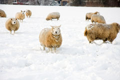 Sheeps in the snow Stock Photo