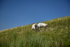 Sheeps in Snowdonia Stock Images