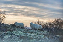 Sheeps in Snowy Iceland. Cloudy Sky Royalty Free Stock Image